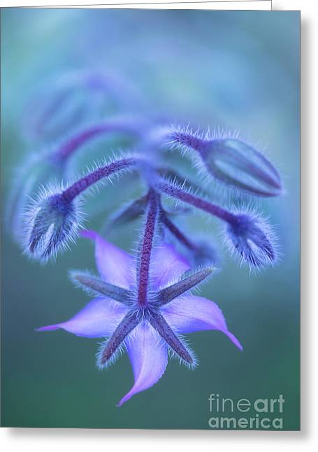 Borage Greeting Card