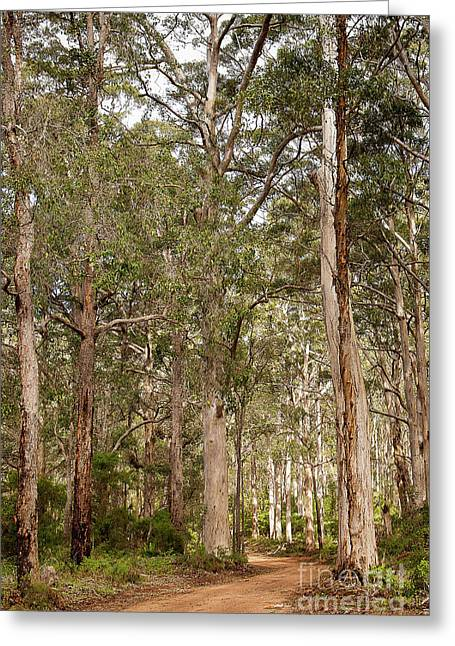 Greeting Card featuring the photograph Boranup Drive Karri Trees by Ivy Ho