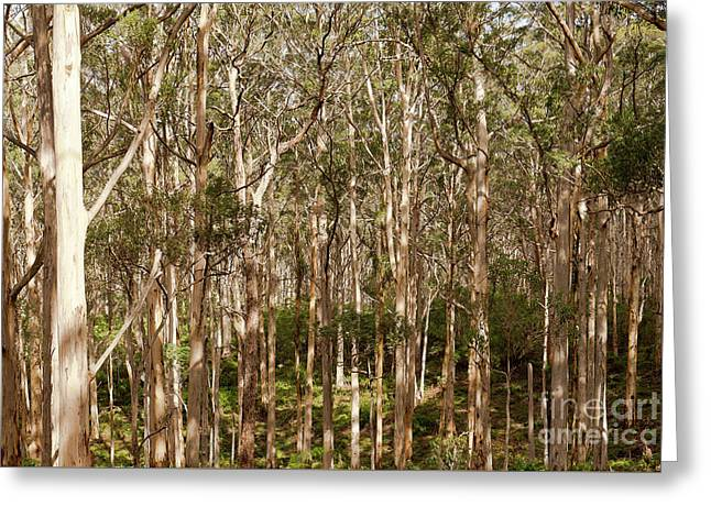 Greeting Card featuring the photograph Boranup Forest  by Ivy Ho