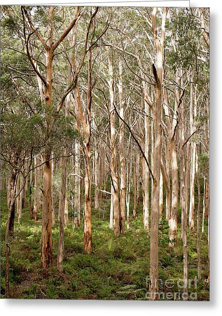 Greeting Card featuring the photograph Boranup Forest Portrait by Ivy Ho
