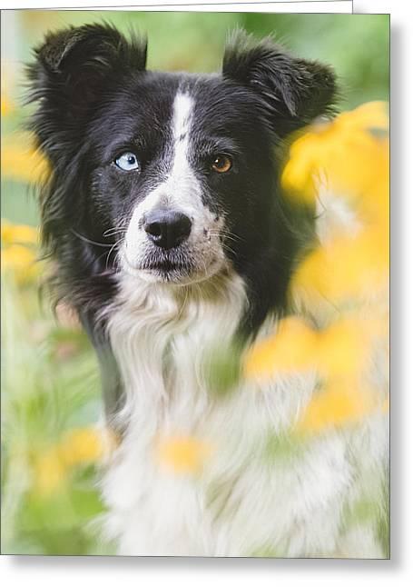 Border Collie Dog Portrait Greeting Card