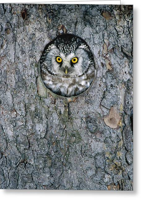 Boreal Owl Aegolius Funereus Peaking Greeting Card by Konrad Wothe