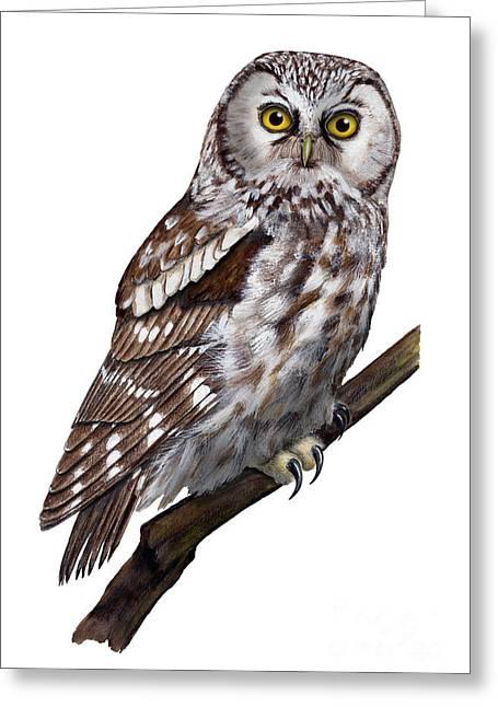 Boreal Owl Tengmalm's Owl Aegolius Funereus - Nyctale De Tengmalm - Paerluggla - Nationalpark Eifel Greeting Card