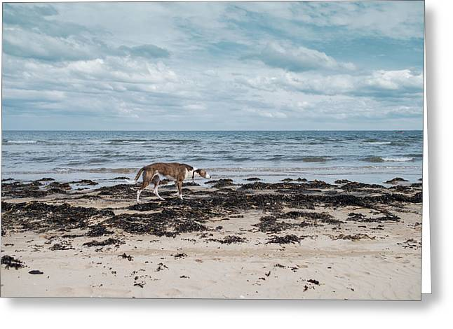 Borzoi Dog Stalking Alnmouth Beach Greeting Card by Jean Gill