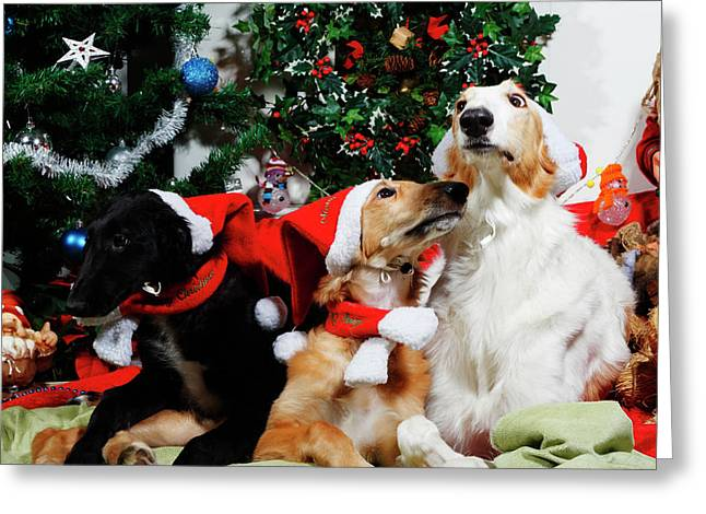 Borzoi Hounds Dressed As Father Christmas Greeting Card by Christian Lagereek