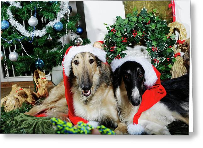 Borzoi Puppies Wishing A Merry Christmas Greeting Card by Christian Lagereek