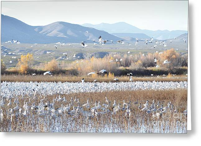 Bosque Del Apache Snow Geese Landscape Greeting Card by Andrea Hazel Ihlefeld