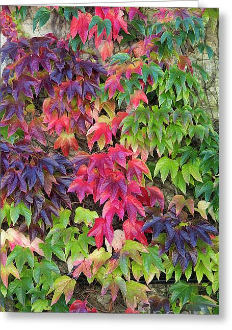 Boston Ivy In The Fall Greeting Card