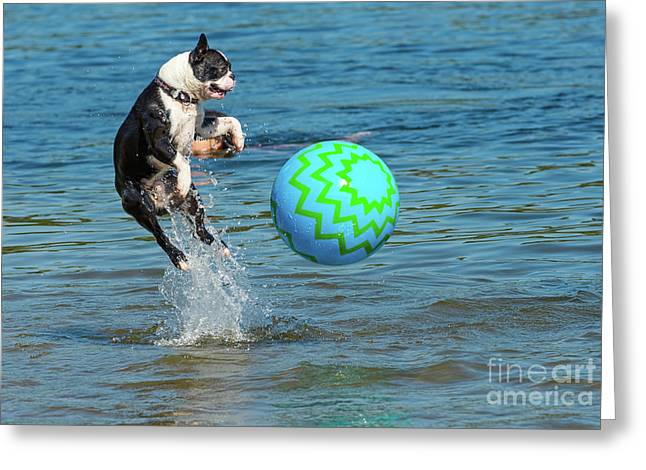 Boston Terrier High Jump Greeting Card