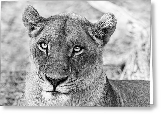Botswana  Lioness In Black And White Greeting Card