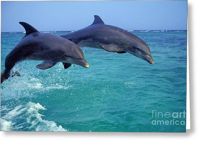 Bottle-nosed Dolphin Greeting Card