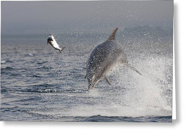 Bottlenose Dolphin Chasing A Fish - Scotland #9 Greeting Card
