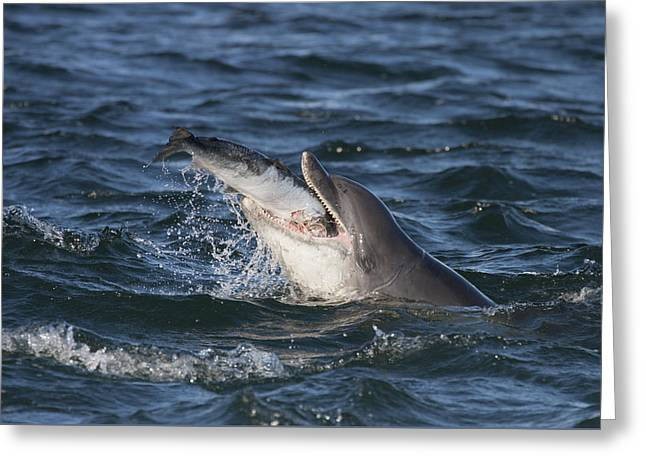 Bottlenose Dolphin Eating A Salmon - Scotland #5 Greeting Card