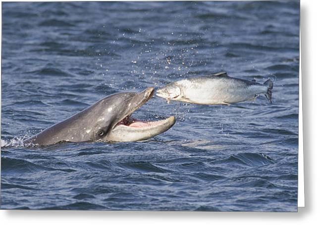 Bottlenose Dolphin Eating Salmon - Scotland  #36 Greeting Card