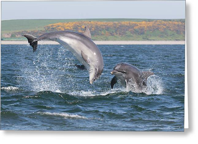 Bottlenose Dolphin - Moray Firth Scotland #49 Greeting Card
