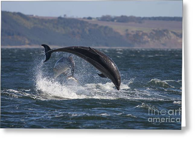 Bottlenose Dolphins - Scotland  #25 Greeting Card