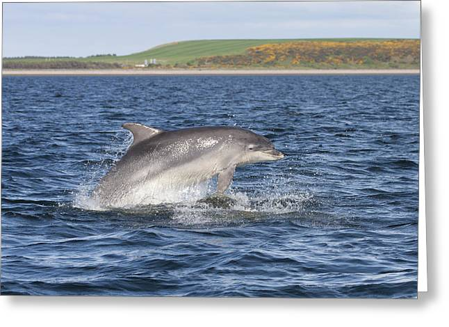 Bottlenose Dolphin - Scotland  #32 Greeting Card