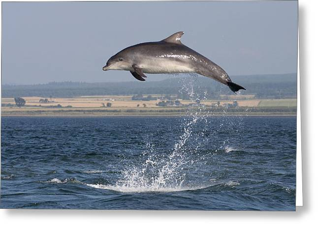 High Jump - Bottlenose Dolphin  - Scotland #42 Greeting Card