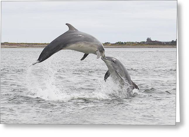Bottlenose Dolphins - Scotland #1 Greeting Card