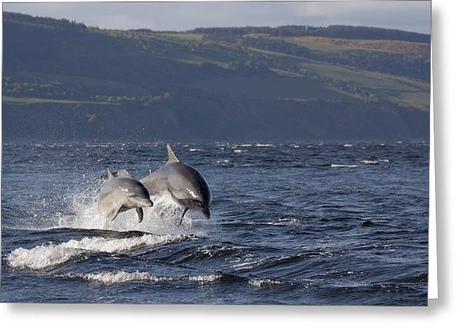 Bottlenose Dolphins Leaping - Scotland  #37 Greeting Card