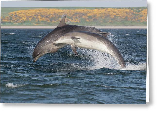 Greeting Card featuring the photograph Bottlenose Dolphins - Moray Firth Scotland #47 by Karen Van Der Zijden