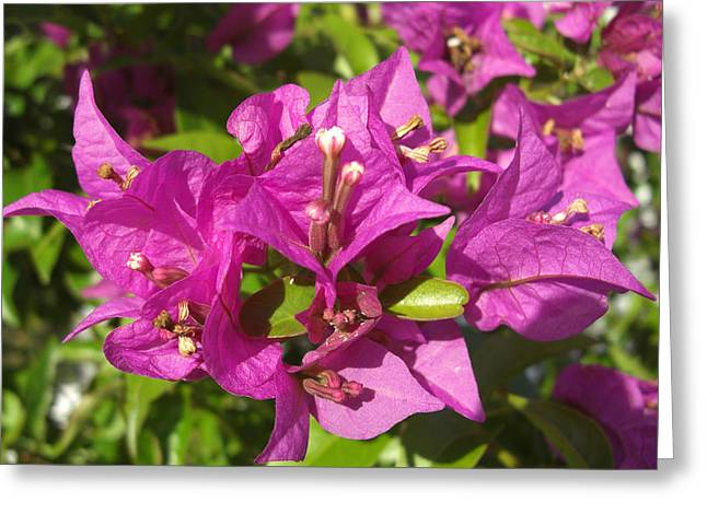 Greeting Card featuring the photograph Bougainvillea by Frederic Kohli