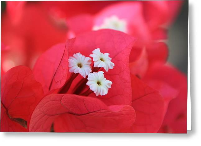 Greeting Card featuring the photograph Bougainvilleas And White by Edward R Wisell