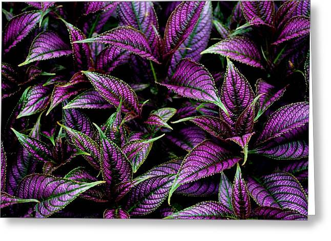 Bouquet Of Persian Shield Greeting Card