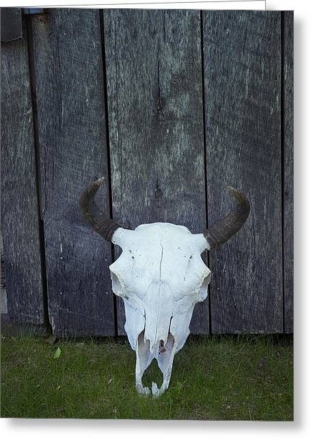 Bovine Skull With Horns Greeting Card by Donald  Erickson