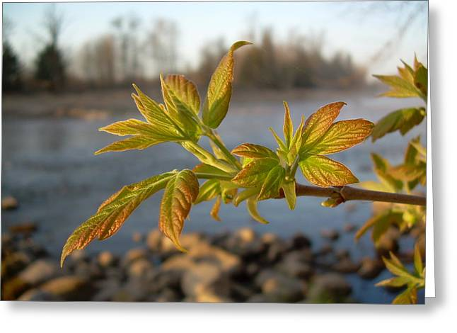 Greeting Card featuring the photograph Box Elder Leaves In Dawn Light by Kent Lorentzen
