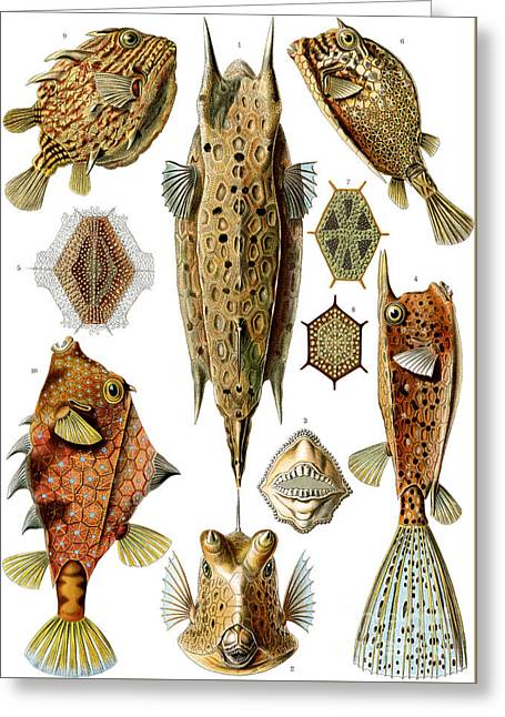 Box Fishes Greeting Card by German School