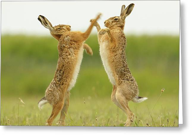 Boxing Hares Square Greeting Card
