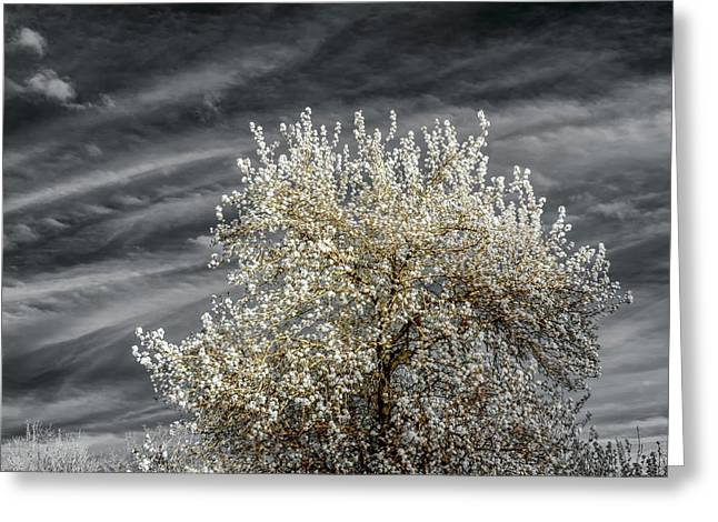 Bradford Pear In Infrared Greeting Card by James Barber