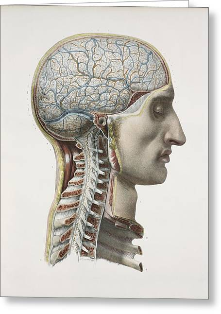 Neurological Greeting Cards - Brain And Spinal Cord, 1844 Artwork Greeting Card by