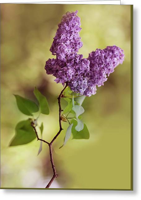 Branch Of Fresh Violet Lilac Greeting Card