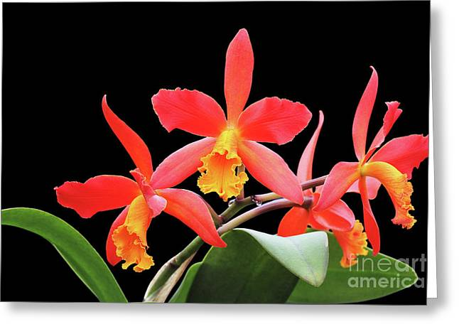 Brassolaeliocattleya Lily Marie Almas 'mrg' Orchid Greeting Card by Judy Whitton