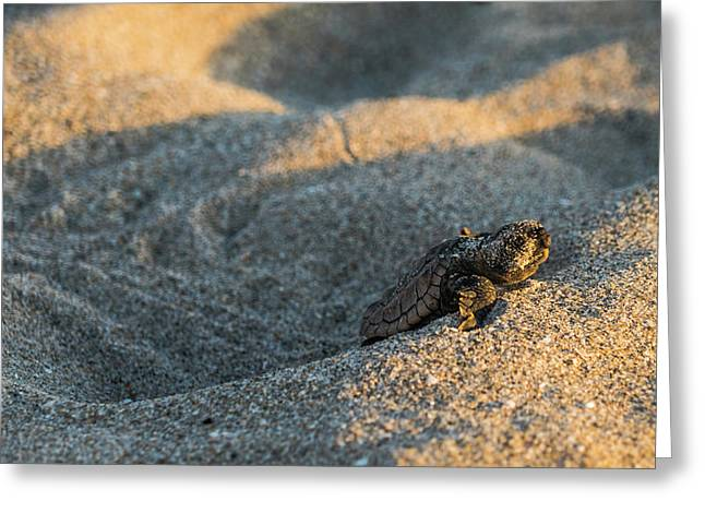 Brave Beginnings Sea Turtle Hatchling Delray Beach Florida Greeting Card