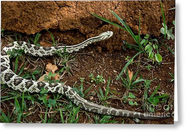 Brazilian Rattlesnake Greeting Card