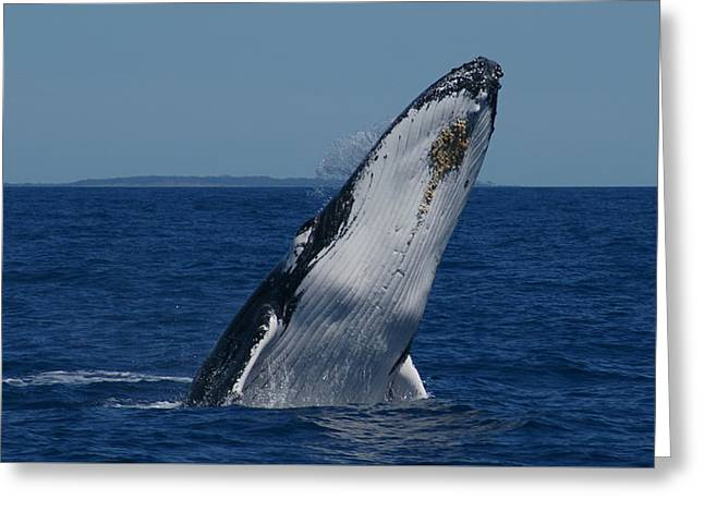 Greeting Card featuring the photograph Breaching Humpback Whale by Gary Crockett