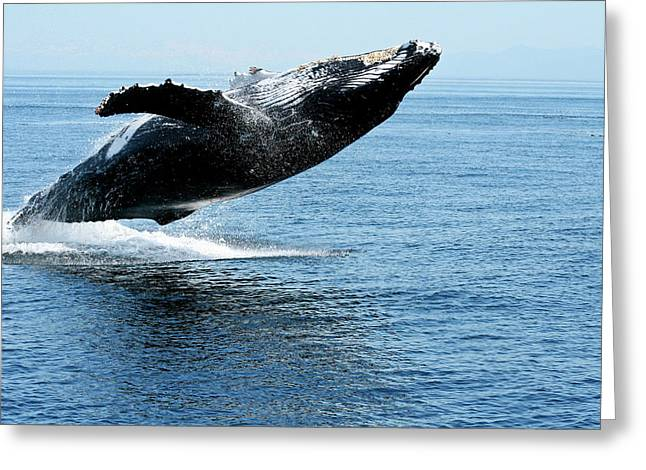 Breaching Humpback Whales Happy-2 Greeting Card