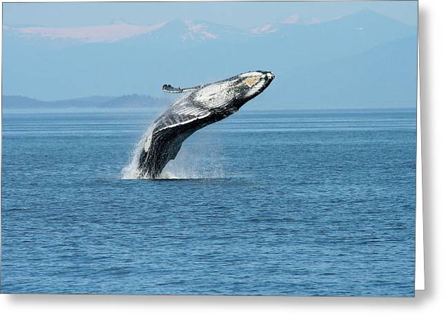 Breaching Humpback Whales Happy-3 Greeting Card