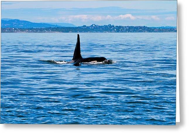 Breaching Male Orca Greeting Card by Dan Sproul