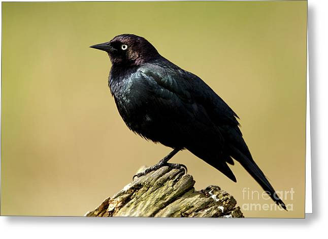 Brewers Blackbird Resting On Log Greeting Card
