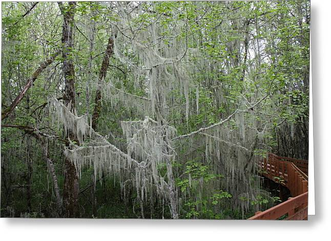 Bridal Veil Tree Greeting Card by Mark Cheney