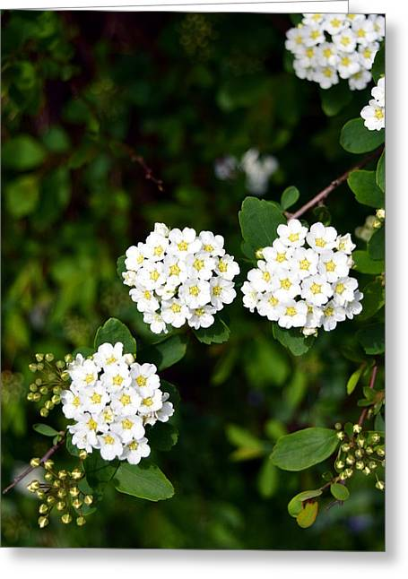 Bridalwreath Greeting Card by Soul Full Sanctuary Photography