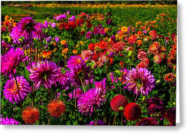 Bright Colorful Dahlias Greeting Card by Garry Gay