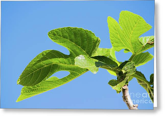 Bright Green Fig Leaf Against The Sky Greeting Card by Cesar Padilla