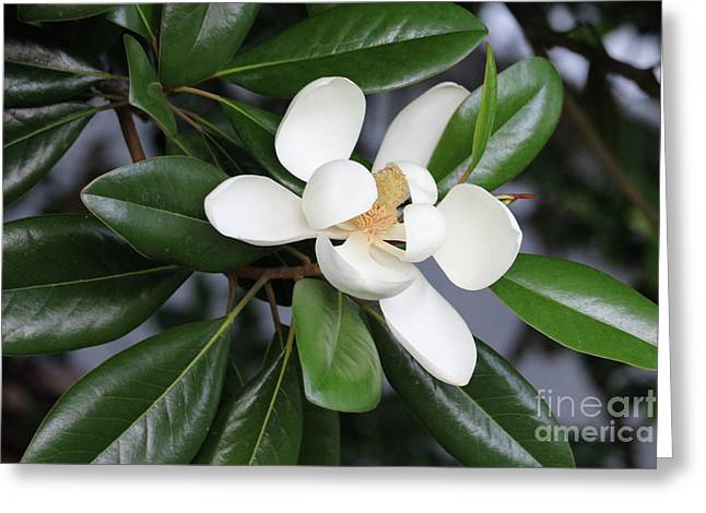 Bright Magnolia With Leaves Greeting Card