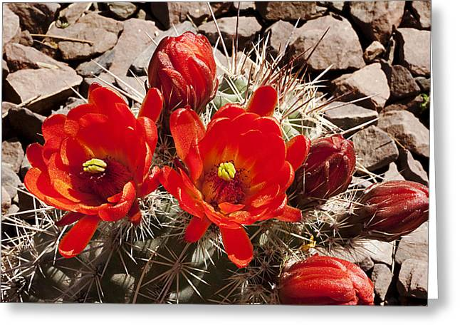 Greeting Card featuring the photograph Bright Orange Cactus Blossoms by Phyllis Denton