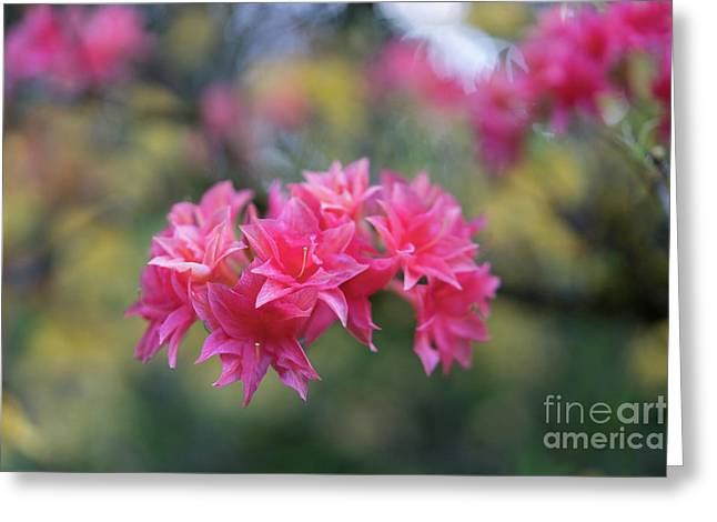 Bright Pink Azaleas Cluster Greeting Card by Mike Reid
